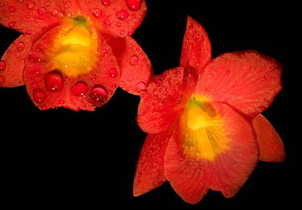 red & gelbe orchideen, isoliert auf schwarz - b767 stock-fotos und bilder