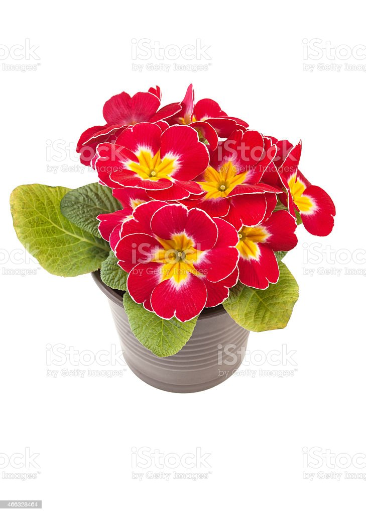 Red yellow Primrose potted plant stock photo