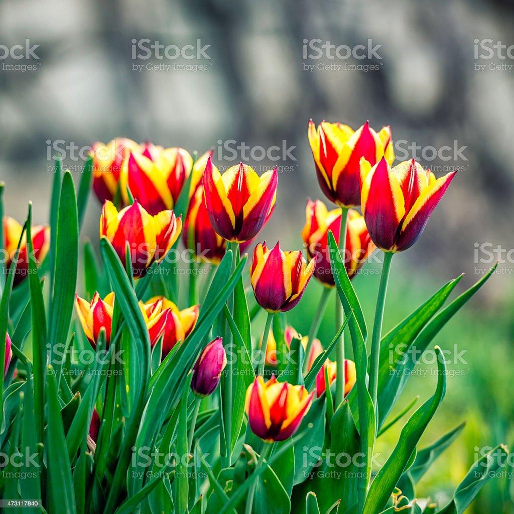 Red Yellow Tulips stock photo