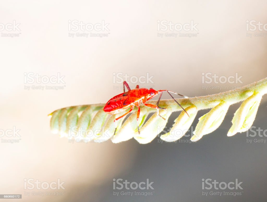 Red young firebug on green plant stock photo
