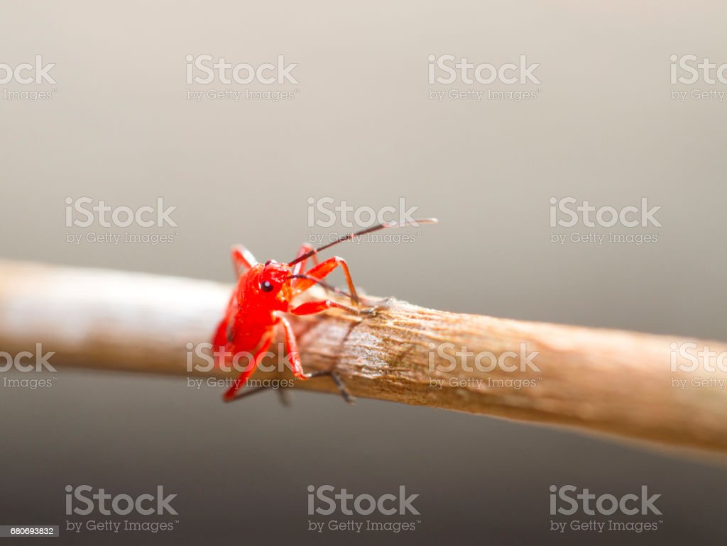 Red young firebug on little brown skick stock photo