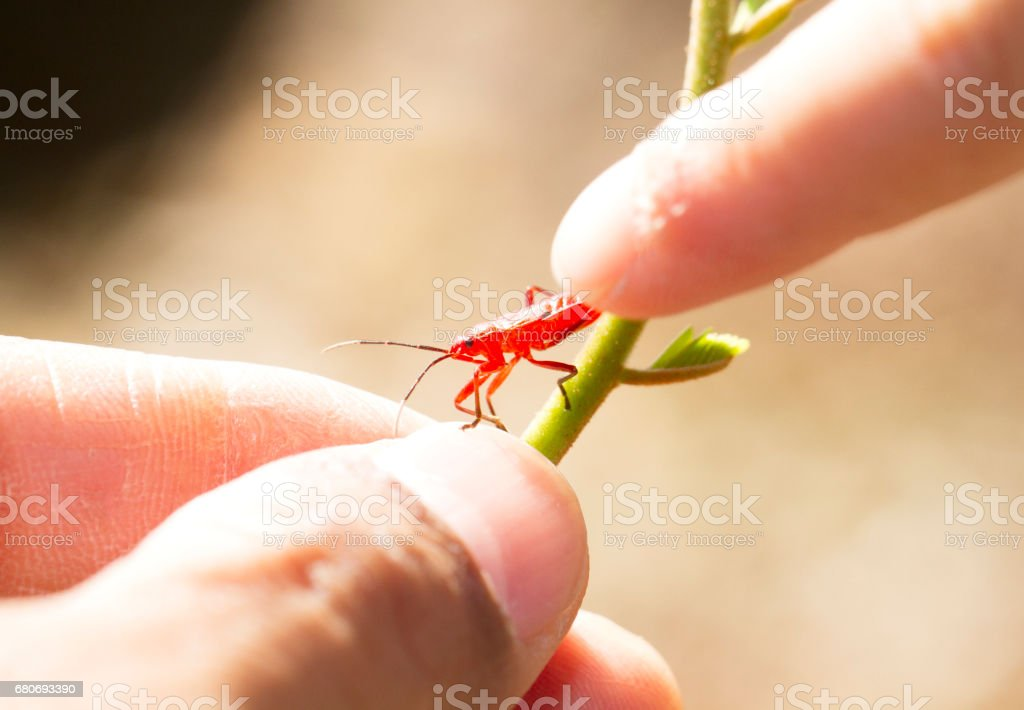 Red young firebug with human finger stock photo