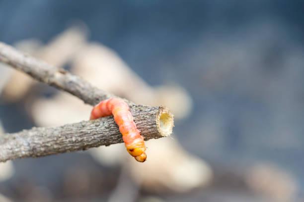 빨간 zeuzera 관 또는 나 방 줄기 보어 나무를 파괴, 그것은 야채와 농업의 식물 질환과 위험한 곤충 해충 이다. 스톡 사진