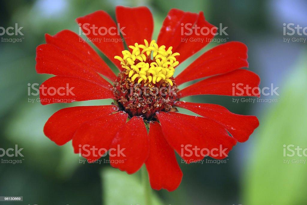 Zinnia rossa primo piano foto stock royalty-free