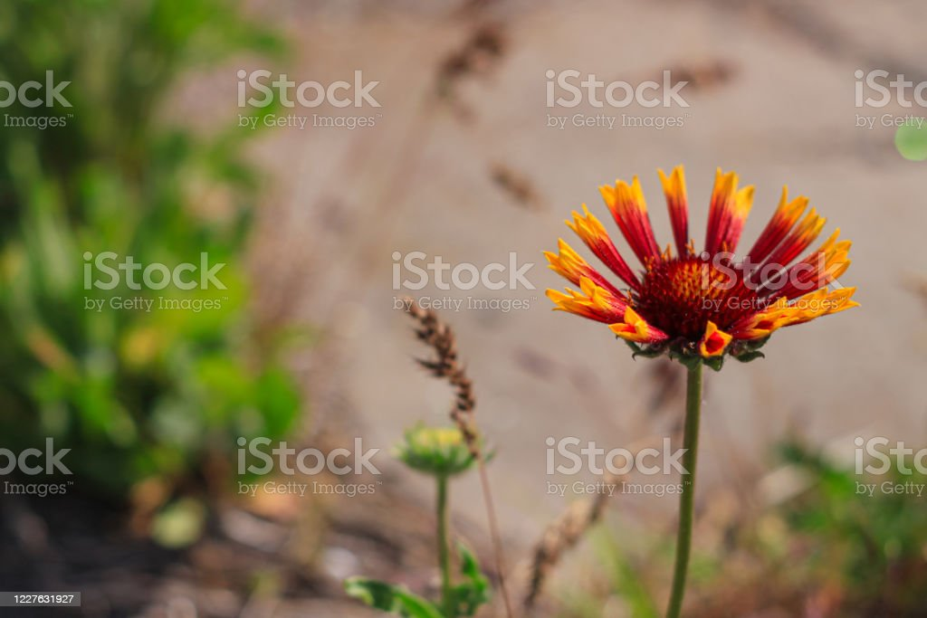 Red Zinnia Flower In The Meadow Amazing Wild Poppies Wallpaper Beautiful Nature Photo Copy Space Floral Greeting Card Stock Photo Download Image Now Istock