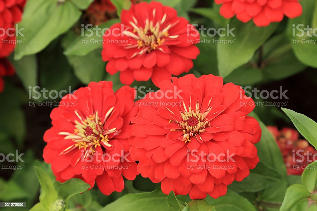 Red Zinnia flowers in the garden. photo libre de droits