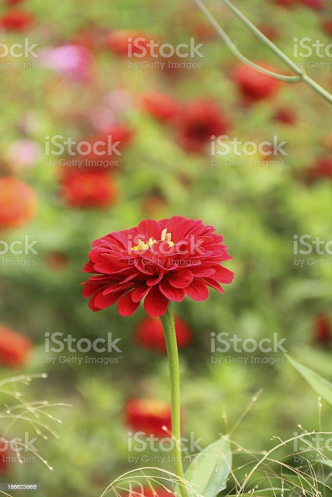 Red zinnia flowers royalty-free stock photo
