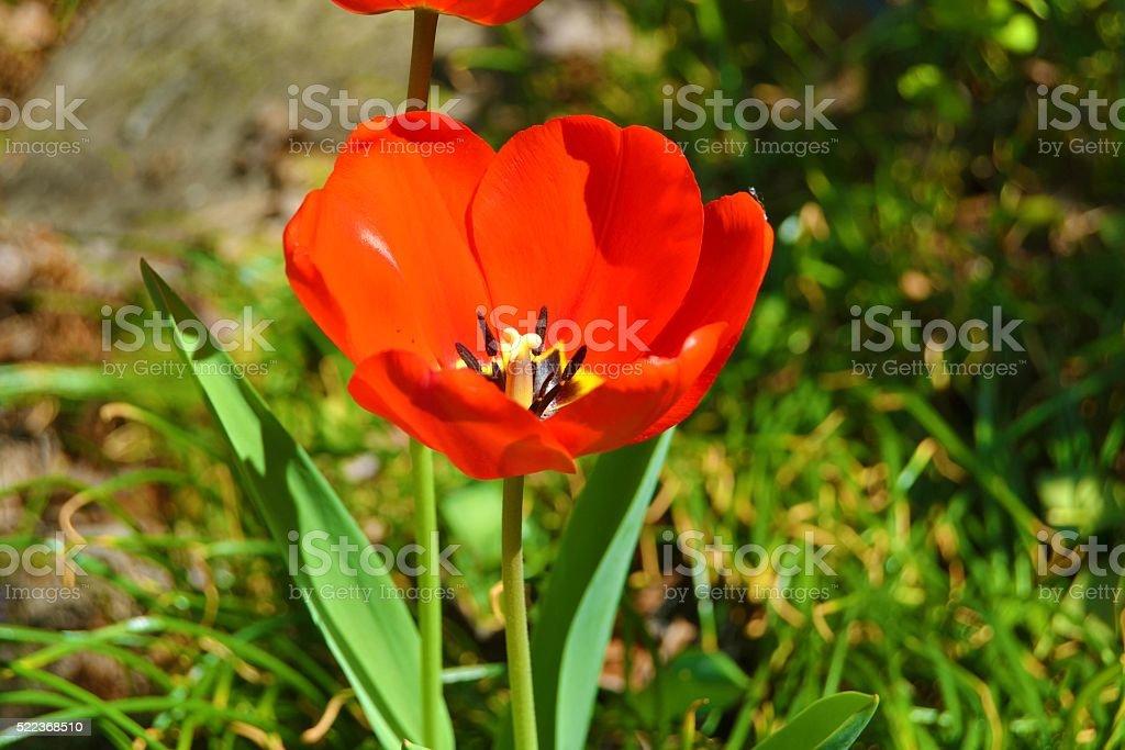 Red_Tulip stock photo