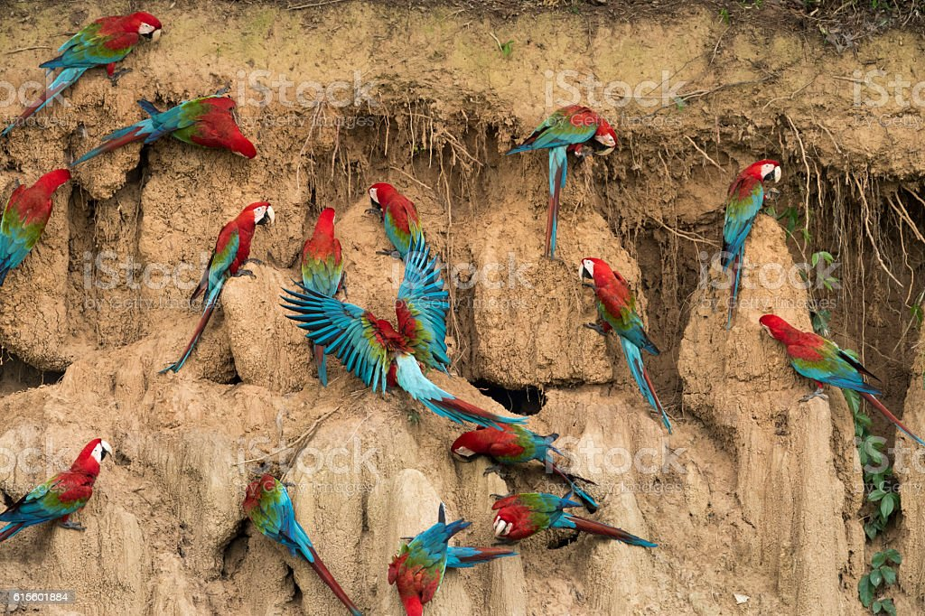 Red-and-Green Macaws Eating Clay stock photo