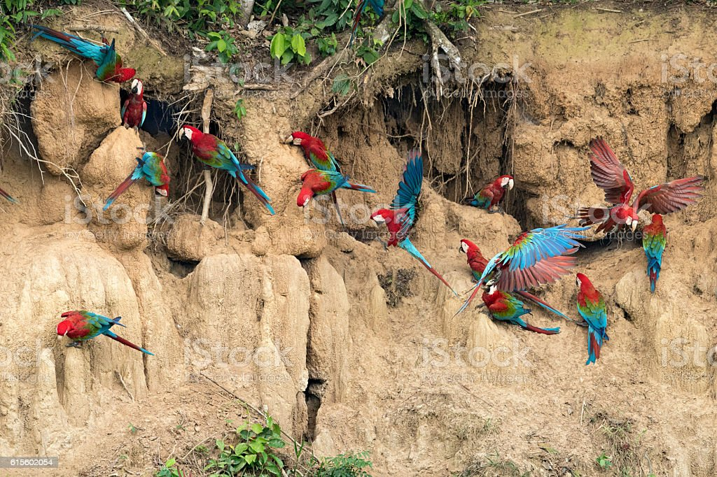 Red-and-Green Macaws Flying into a Clay Lick stock photo