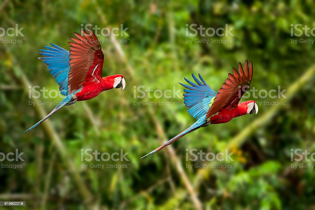 Red-and-Green Macaws in Flight stock photo
