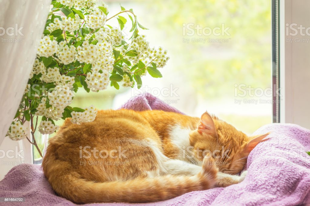 Red-and-white cat is sleeping on the windowsill. stock photo