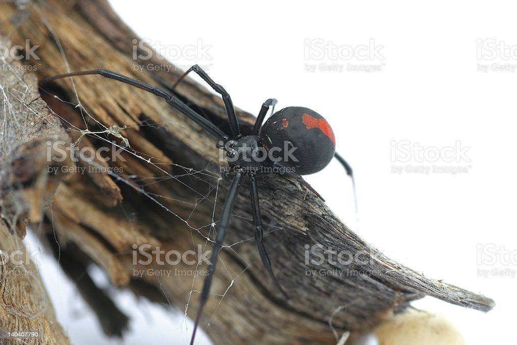 Redback Spider stock photo