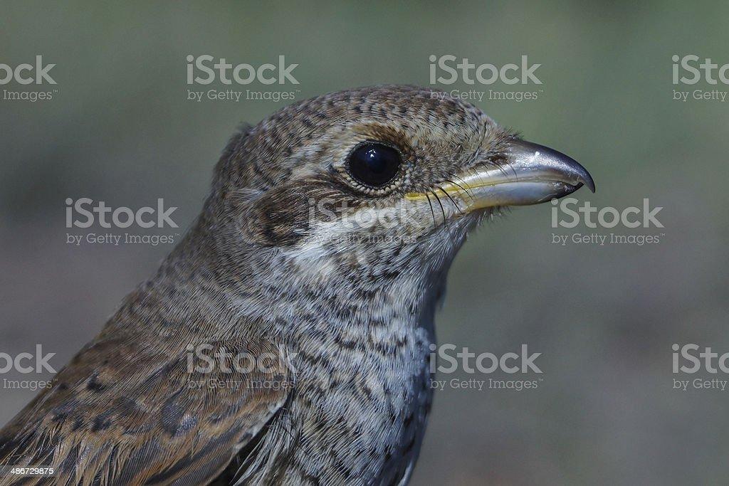 Red-backed Shrike, Lanius collurio stock photo