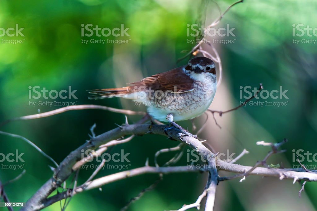 Red-backed Shrike or Lanius collurio on branch zbiór zdjęć royalty-free