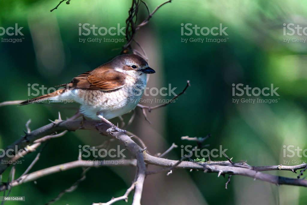 Red-backed Shrike or Lanius collurio on branch zbiór zdjęć royalty-free