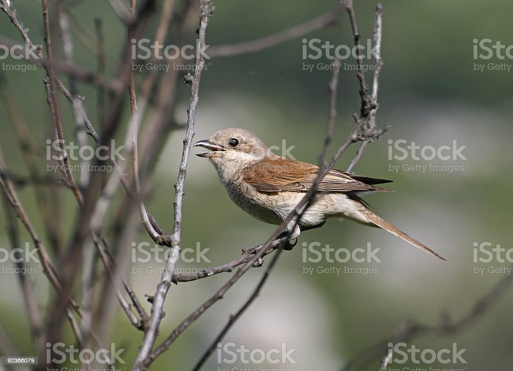 Red-backed shrike sitting on a branch royalty-free stock photo