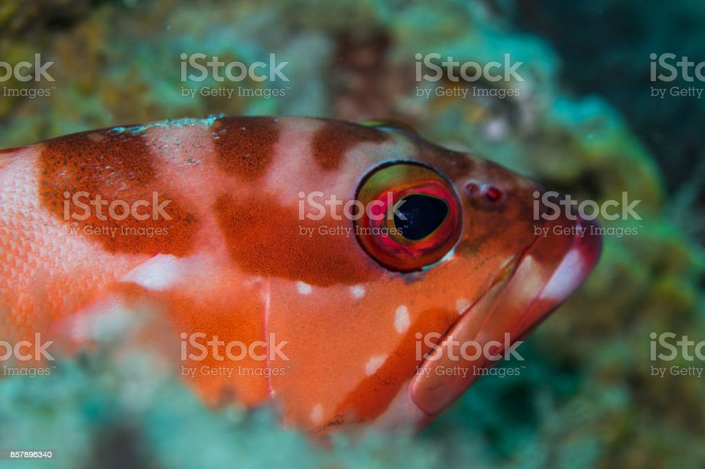 Redbarred Rockcod (Blacktip Grouper) laying on the reef stock photo