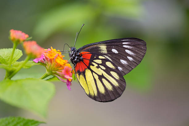 Redbase jezebell butterfly picture id468347031?b=1&k=6&m=468347031&s=612x612&w=0&h=fokp2 92fnllnfecq 7nezqylqs3fiboxr pqhkfnbg=
