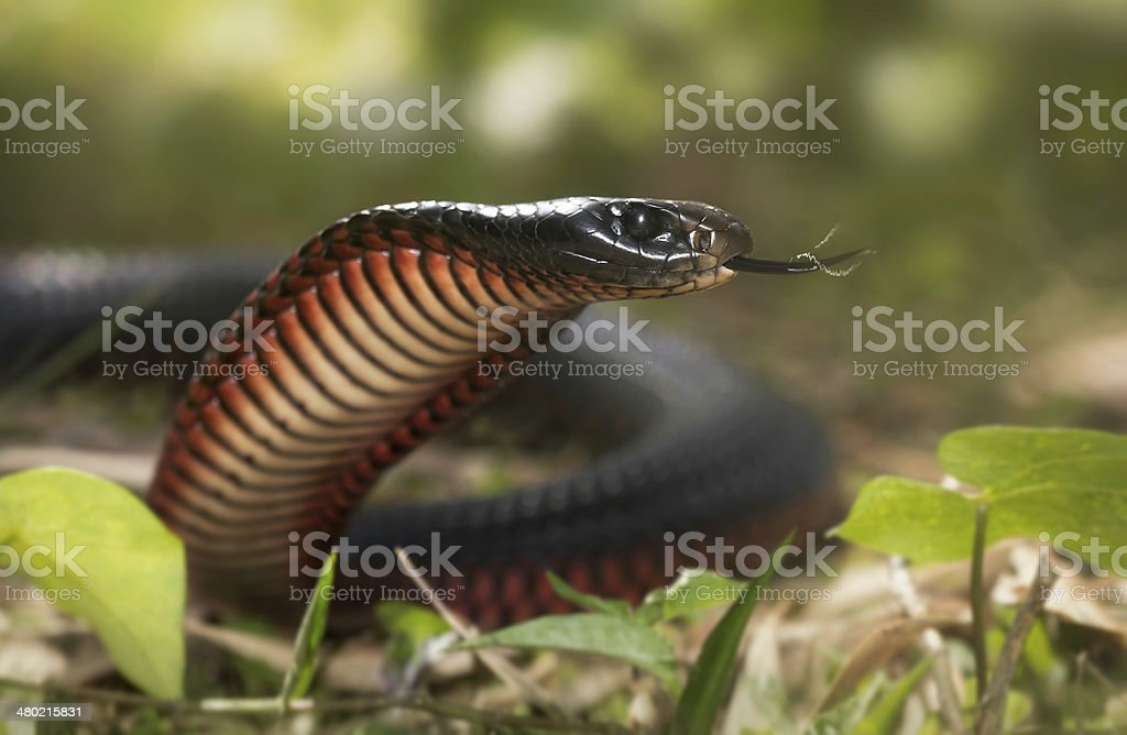 Red-bellied Black Snake (Pseudechis porphyriacus) stock photo
