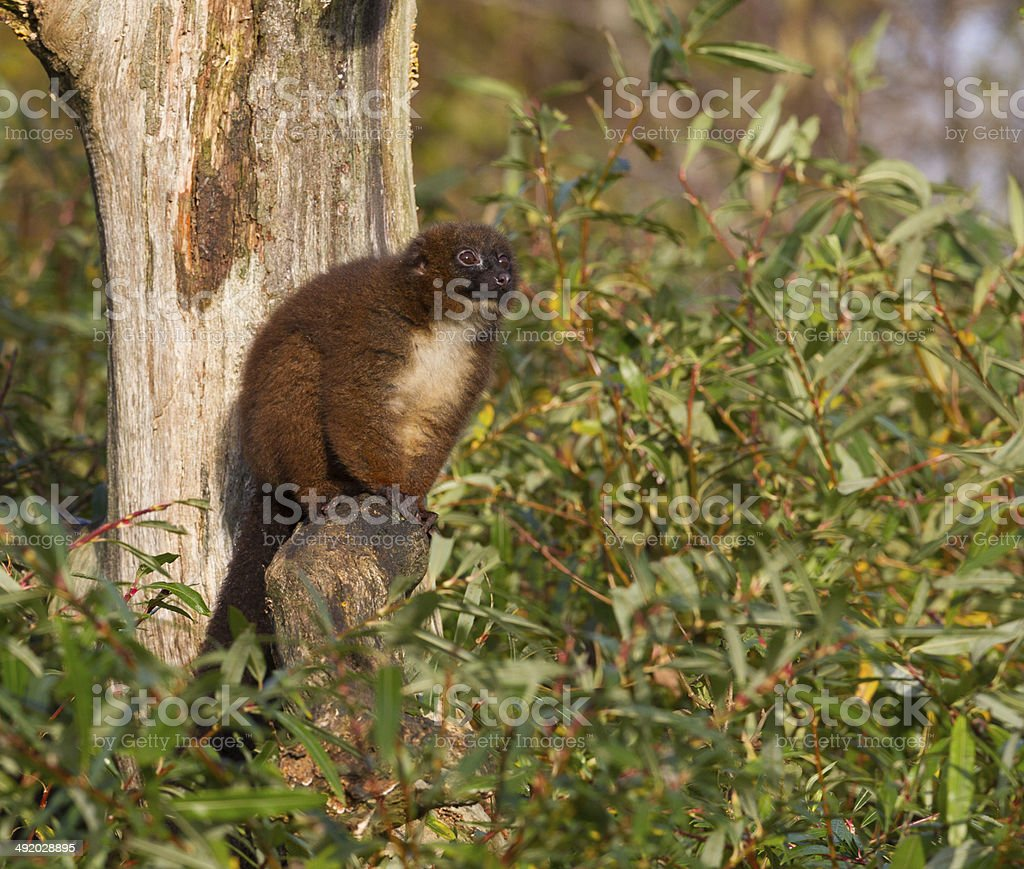 Red-bellied Lemur (Eulemur rubriventer) in a tree stock photo