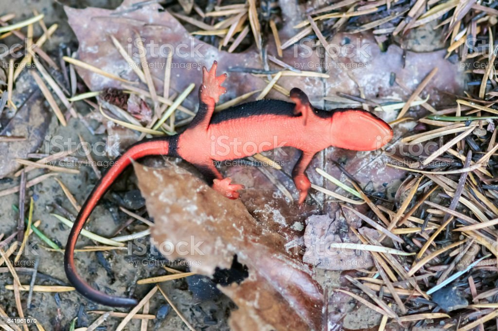 Red-bellied Newt (Taricha rivularis) playing dead. stock photo