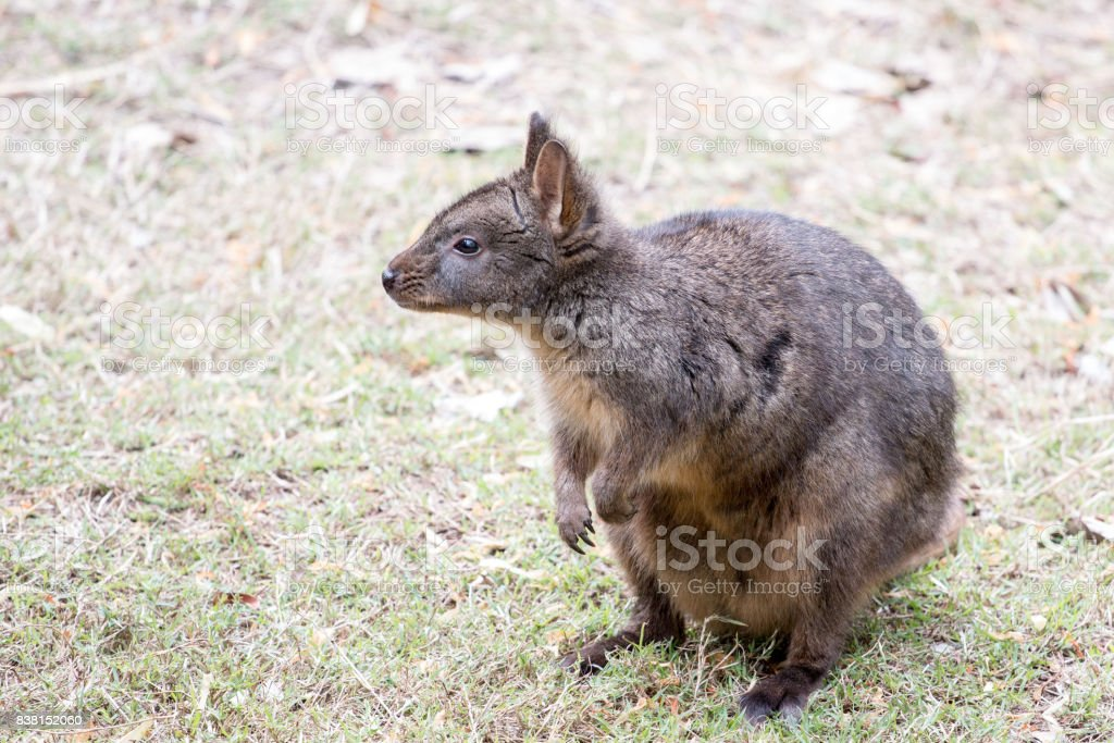 Red-Bellied Pademelon stock photo