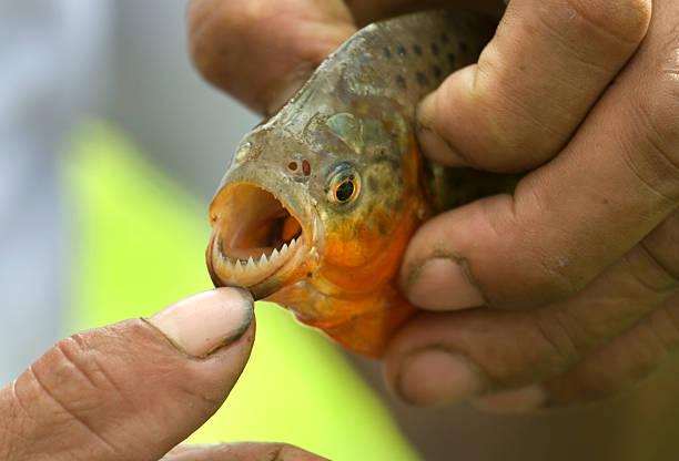 red-bellied piranha zęby na amazonka - pirania zdjęcia i obrazy z banku zdjęć