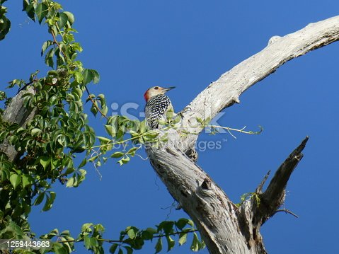 Red-bellied Woodpecker bird perched up in tree closer view