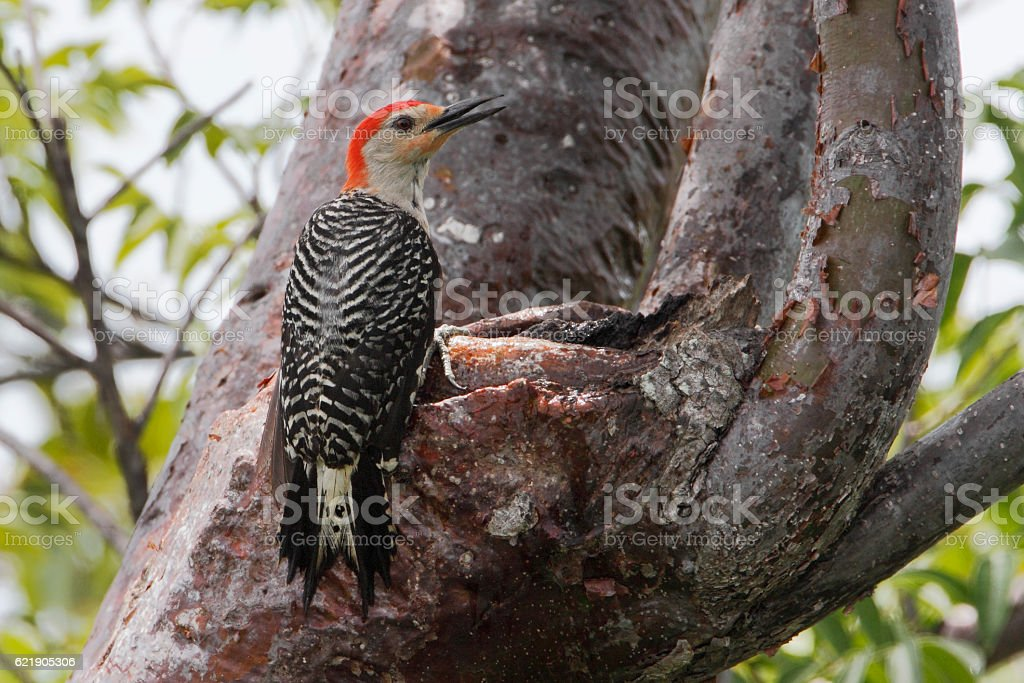 red bellied woodpecker  melanerpes carolinus  curry hammock state park florida redbellied woodpecker curry hammock state park florida usa stock      rh   istockphoto