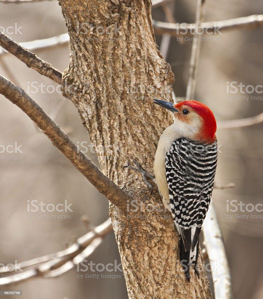 Red-bellied Woodpecker, Melanerpes carolinus royalty-free stock photo