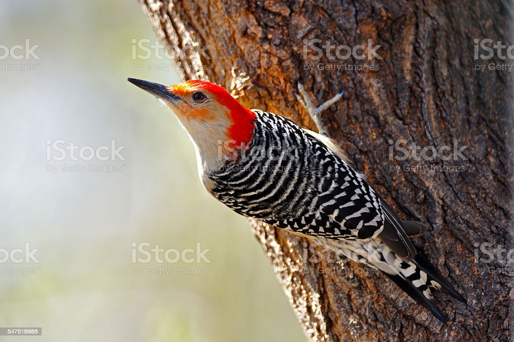 Red-bellied Woodpecker On Tree stock photo
