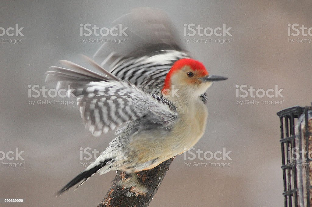 red-bellied woodpecker royalty-free stock photo