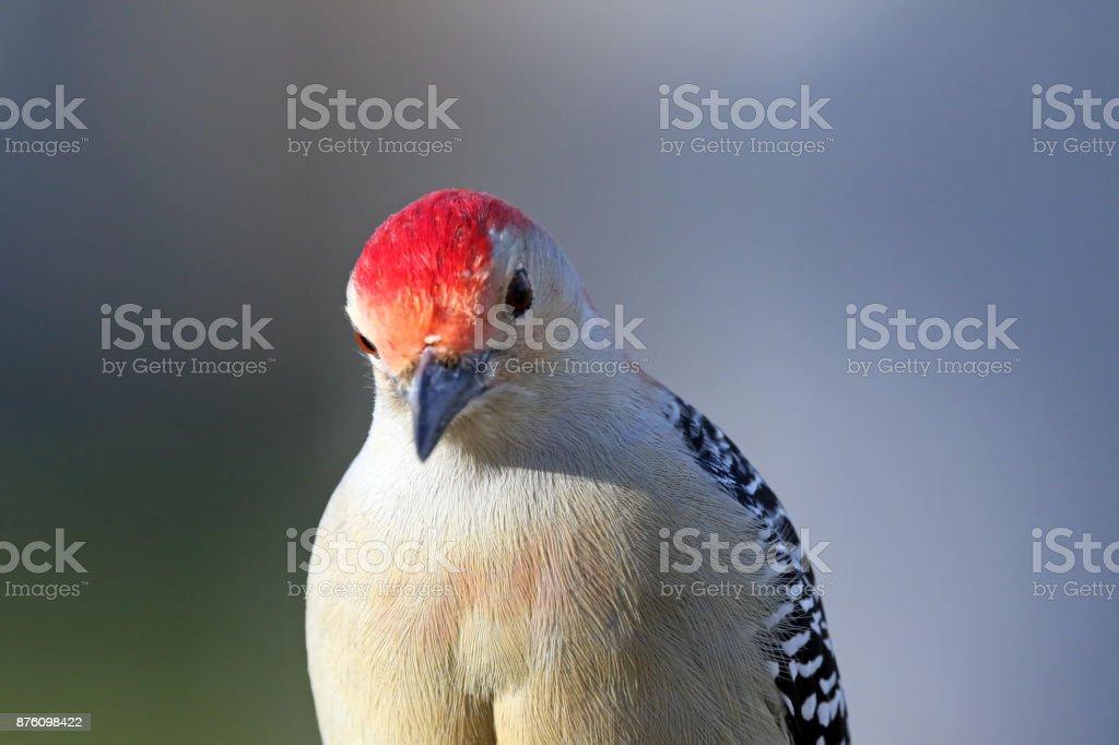 Red-Bellied Woodpecker stock photo