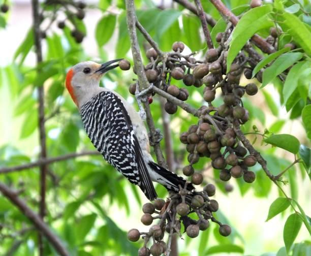 Red-bellied Woodpecker (Melanerpes carolinus) stock photo