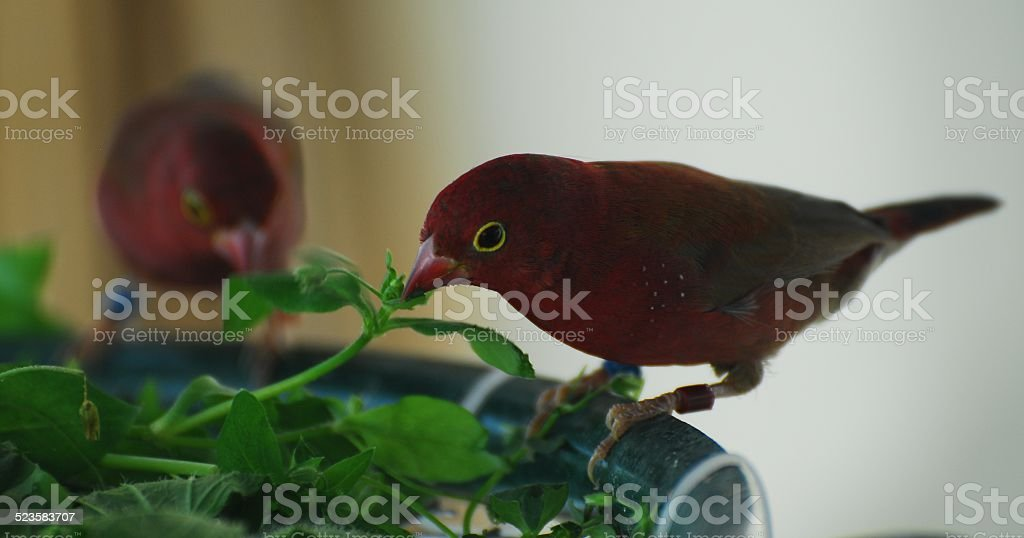 Red-billed Firefinch stock photo