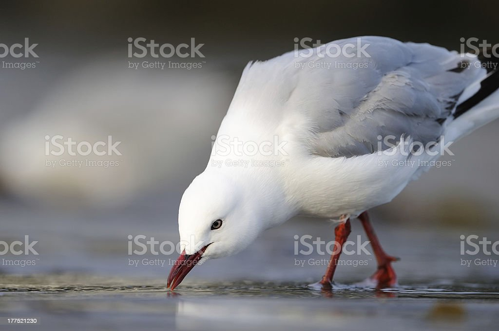 Red-billed Gull stock photo