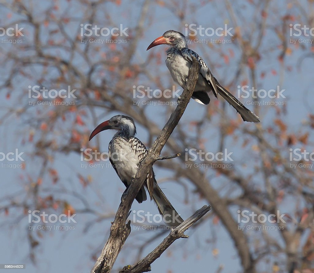 Red-Billed Hornbill royalty-free stock photo