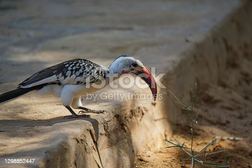 A Red-billed hornbill stands on the platform. A grass is in front of its beak. Large numbers of animals migrate to the Masai Mara National Wildlife Refuge in Kenya, Africa. 2016.