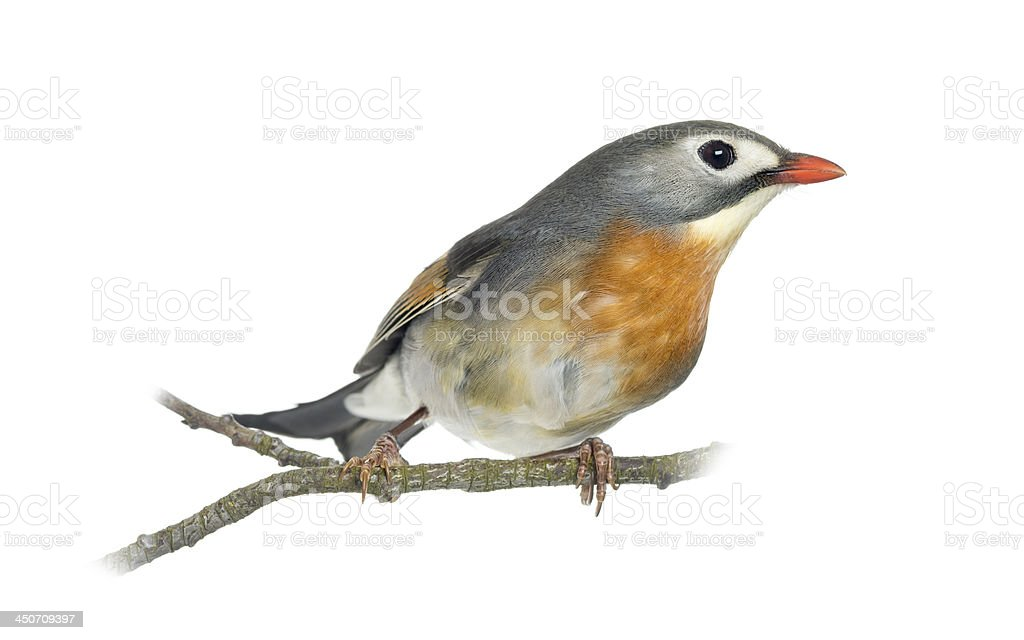 Red-billed Leiothrix perched on a branch stock photo