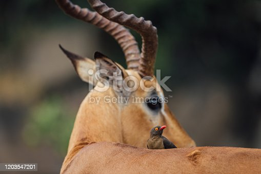 Red-billed Oxpecker on an Impala in Kruger National Park.