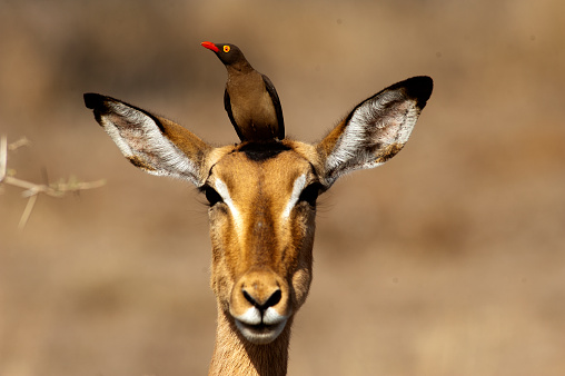 The red-billed oxpecker feeds on ticks found on wild animals such as this impala in Kruger National Park, South África.
