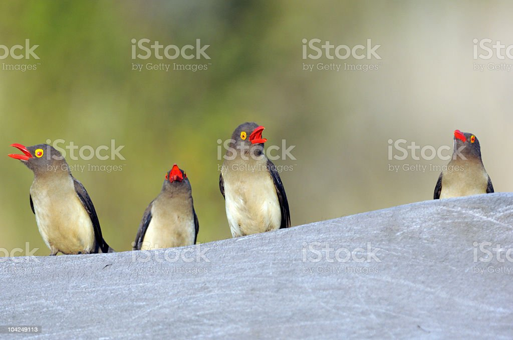 Red-billed oxpekers royalty-free stock photo
