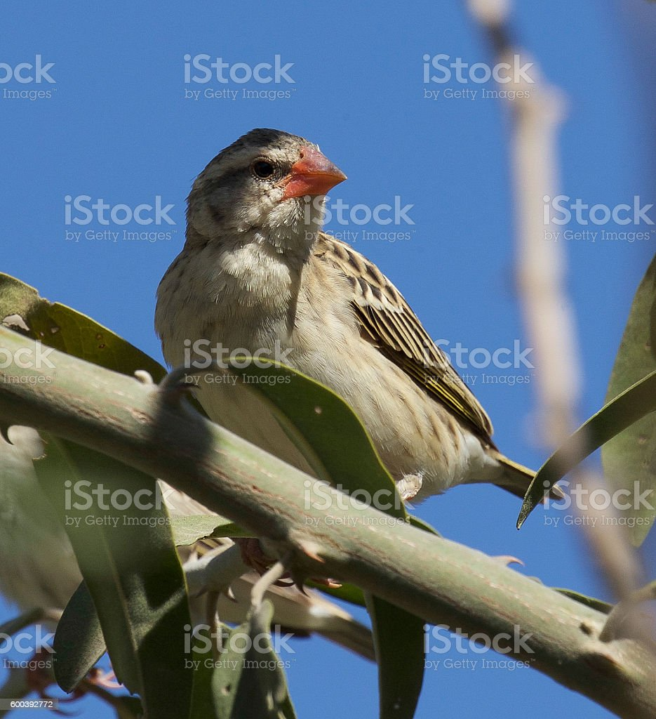 Red-Billed Quelea stock photo