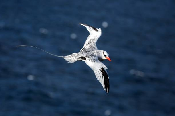 red-billed tropicbird (phaethon aethereus) flying over the pacific ocean near galapagos islands, beautiful white bird with sea and cliffs in background, elegant bird with long tail - uccello marino foto e immagini stock
