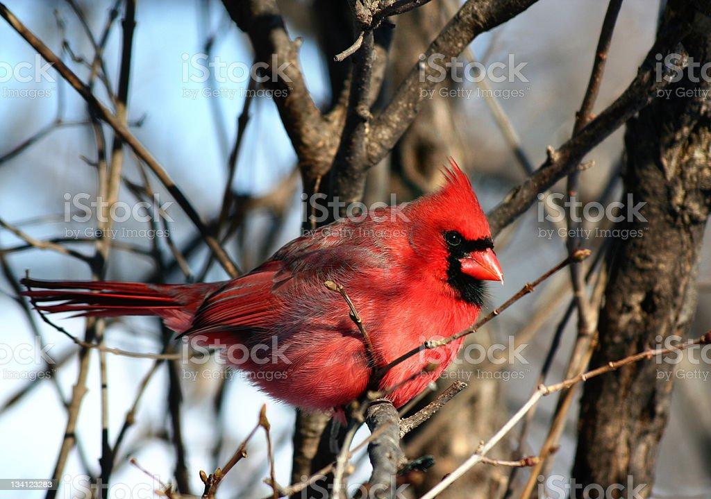 Redbird stock photo