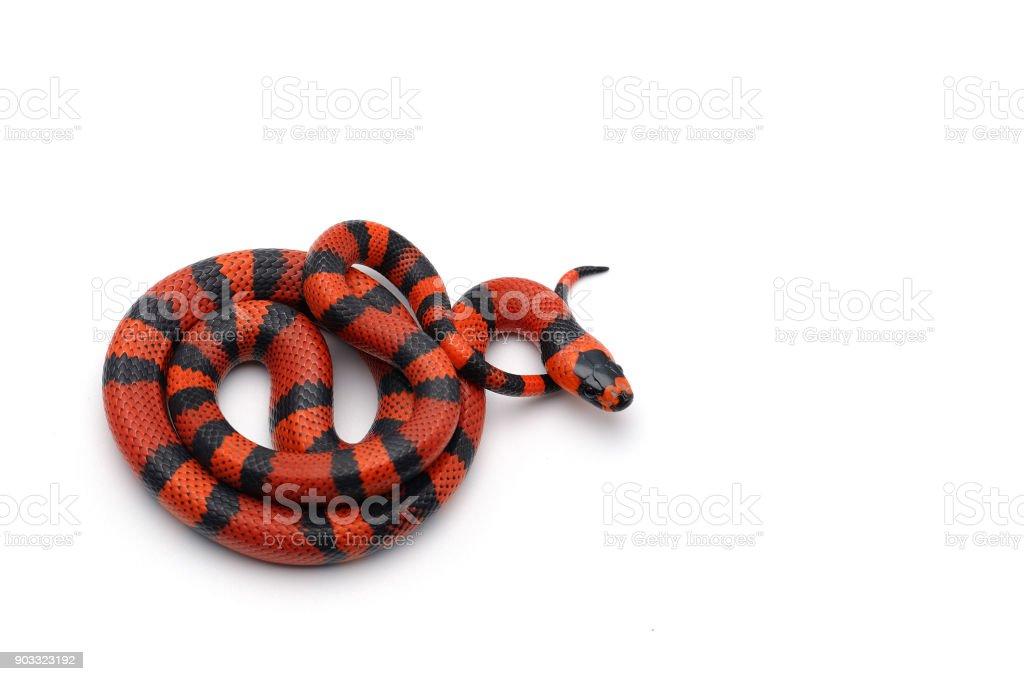 Red-black Milk snake isolated on white background stock photo