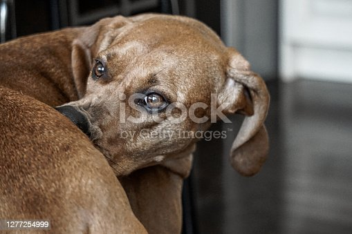 Redbone coonhound biting her own butt, making funny face looking back
