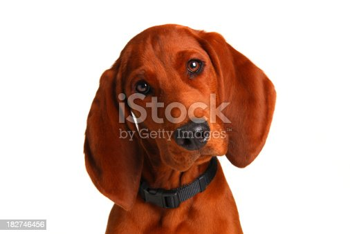 coon hound looking at the camera with his head cock to left
