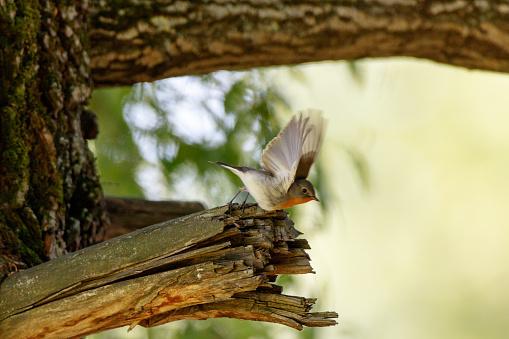 Kleine Vliegenvanger Stockfoto en meer beelden van Boom